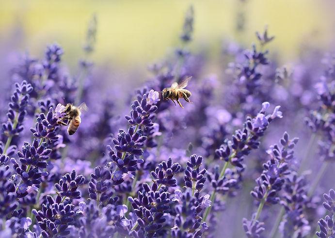 lavande et abeilles.jpg
