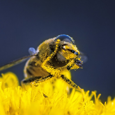 Le pollen – la poudre d'or de la ruche