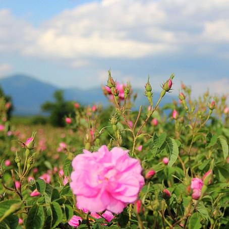 La Rose Bulgare