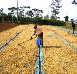 Sun Drying Coffee Kainantu PNG