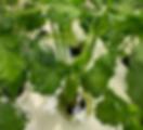 Harvest_Coriander.png