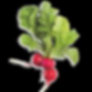 red radish3_s.png