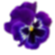 vegs_pansy.png