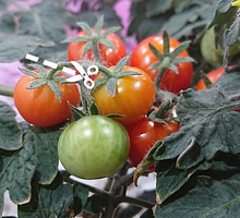 Harvest_tomato.png