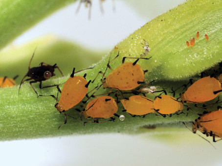 Identifying common plant bugs