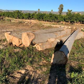 Elongata 8 ans Agroforesterie