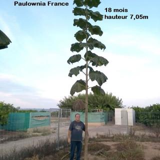 Paulownia Shantong G3 18 mois