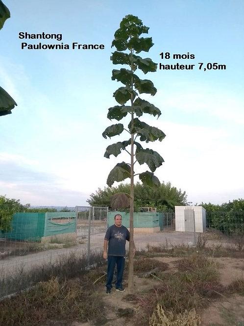 Paulownia France