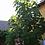 Thumbnail: Plante Paulownia EMPRESS DYNAMITE ® en pot 2.5 litres