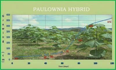 paulownia hybrid.jpg