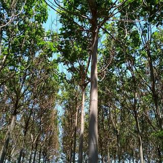 Plantation Paulownia France