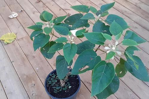 Plante Paulownia Catalpifolia en pot 2.5 L