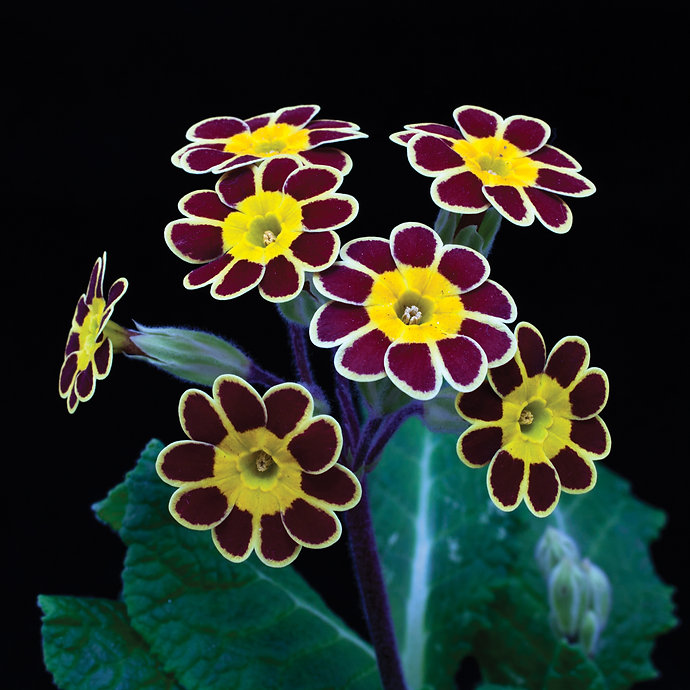 Gold Laced Polyanthus red ground_MG_9124