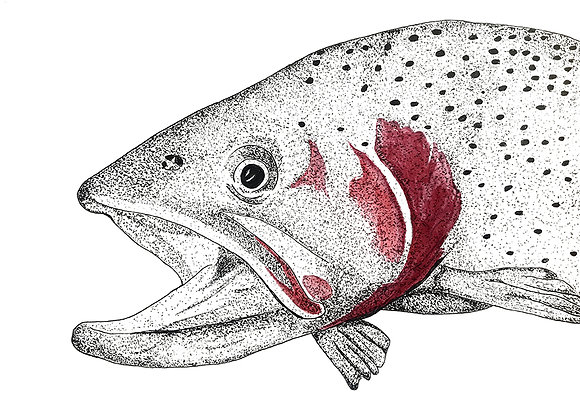 Cutthrout Trout