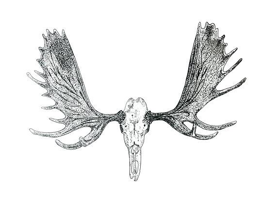 Moose Skull - Original Pen & Ink