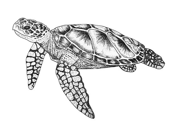 Turtle - Limited Edition Print