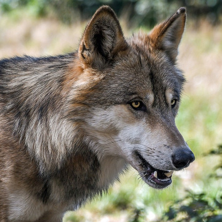 Wolf, How She Reminds Us Of That Part Long Forgotten
