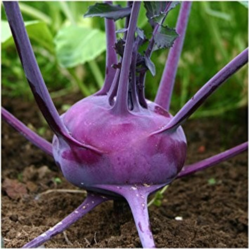 500 Kohlrabi Purple Vienna Seeds