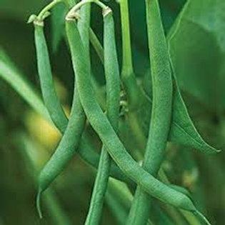 Provider Bush Beans Plant - 4in