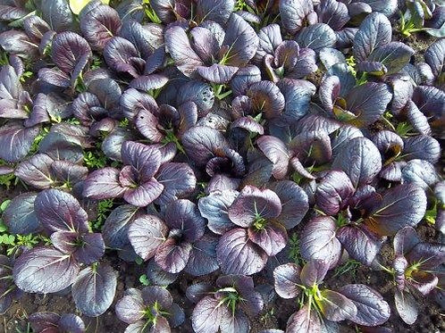 Purple Magic Choi Plant  2-4 in