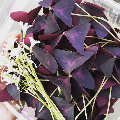 Purple Butterfly Sorrel - 50ct clamshell