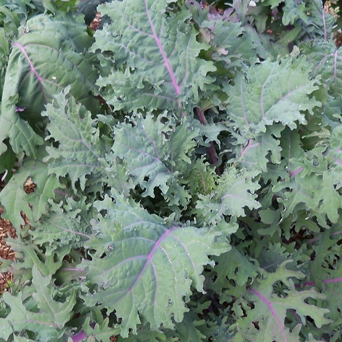 500 Kale Red Russian Seeds
