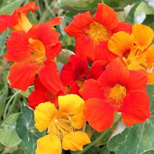 Nasturtium Edible Plant - 6in
