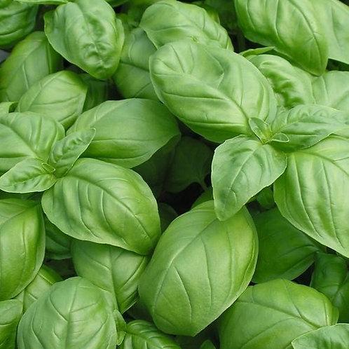 500 Basil Genovese Seeds