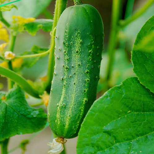Pickling Cucumber Plant  2-4 in