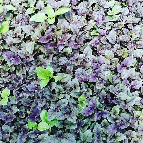 """500 Basil Purple """"Opal"""" Seeds"""