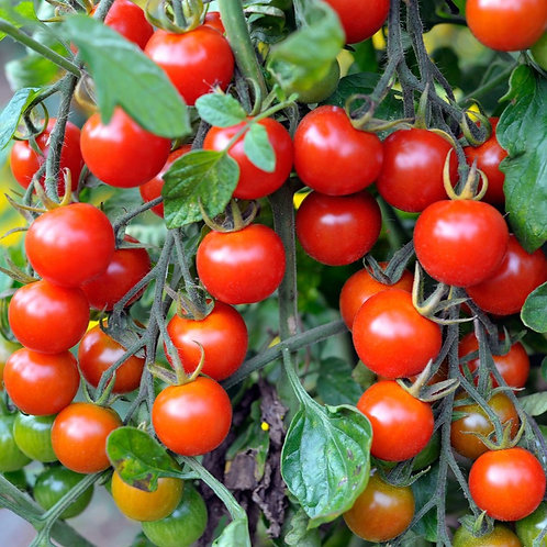 Large Cherry Tomato Plant - 3in