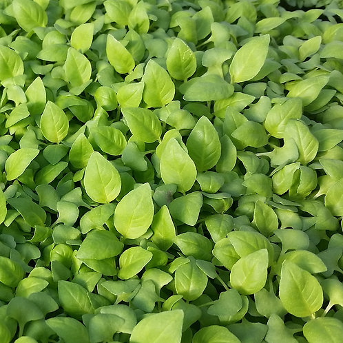 500 Basil Lemon Seeds