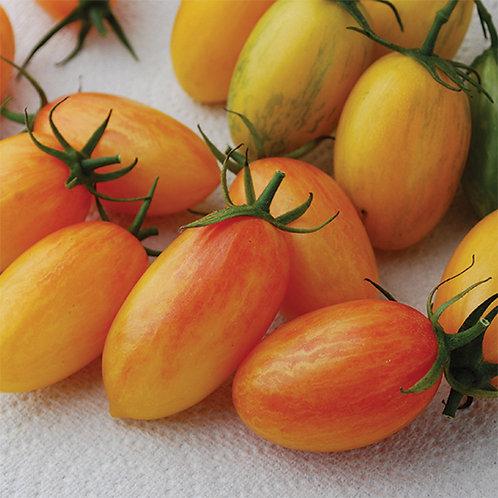 Blush Tomato Plant  2-4in