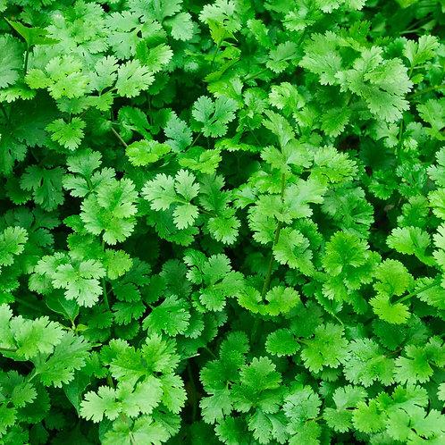 Cilantro Plant - 4in