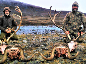 MUSKOX CARIBOU COMBO HUNTING in AUG.-SEP.-OCT. 2021