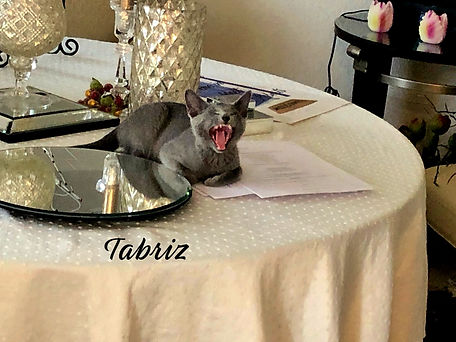 Russian blue kitten cat Tabriz.