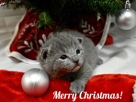 We are 2 weeks old and ready to meet Santa.#bluesburgcattery#russianbluechristmas#russianbluekitten