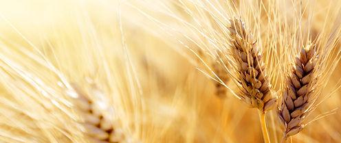 Wheat_edited_edited.jpg