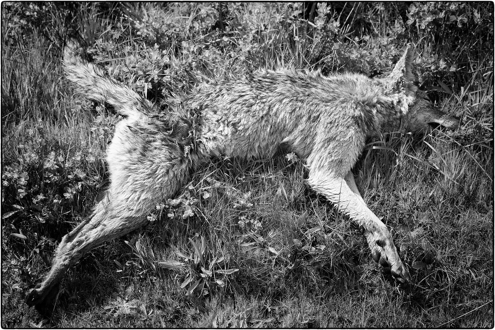 coyote 6.jpg