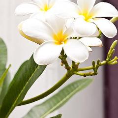 plumeria-flower.jpg