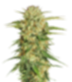cannabis_PNG37.png