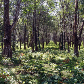 MAY 2021 - The first comprehensive assessment of Rubber Agroforestry systems is published