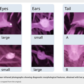 MARCH 2021 - A new study published on thermal and near-infrared imaging to sample flying vertebrates