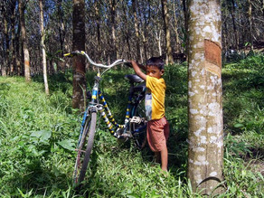 What are Rubber Agroforestry Systems and what are the Benefits for Smallholders and Industry?