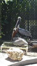 Pelican Rehabilitation