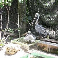 Pelican Pair at the Rehabilitation Center