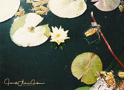 my yellow lotus for VI blog.jpg