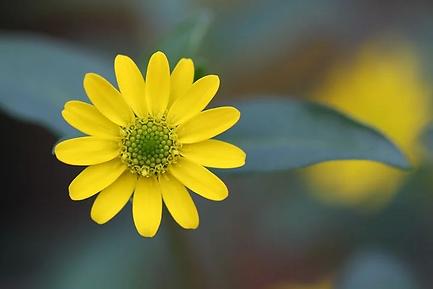 Blüte-gelb.webp