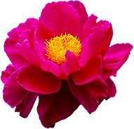 flower-transparent-png-13.png