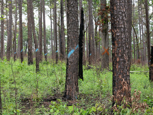 Fire and Timber Management in Mixed Woods